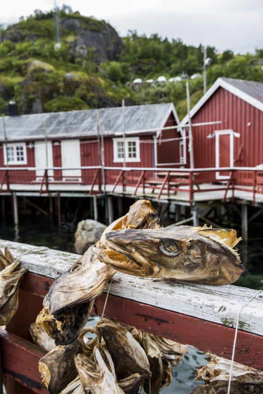 Här torkar man fisk - en klassiker på Lofoten. Det sägs att huvudet ska vara en delikatess