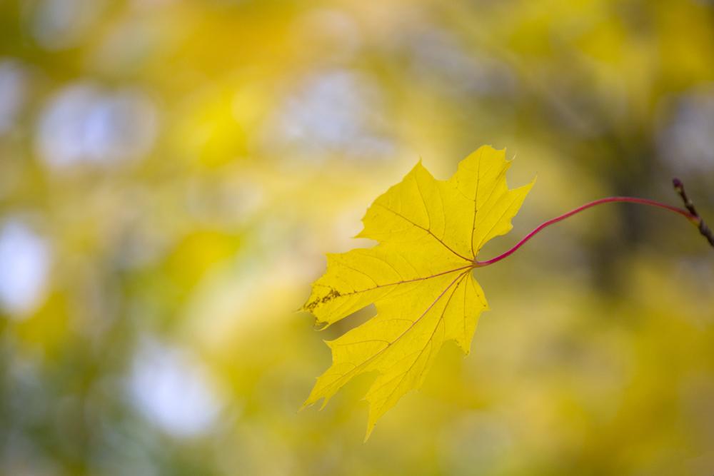 Vackert gult lönnlöv
