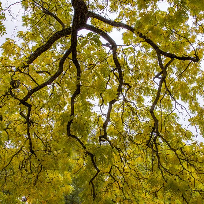 Vackert gula löv som hänger från grenverket - gillar kontrasterna!