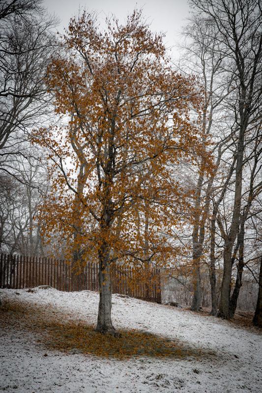 Höstlöven lyser i snöyran. Är det verkligen höstlöv då?