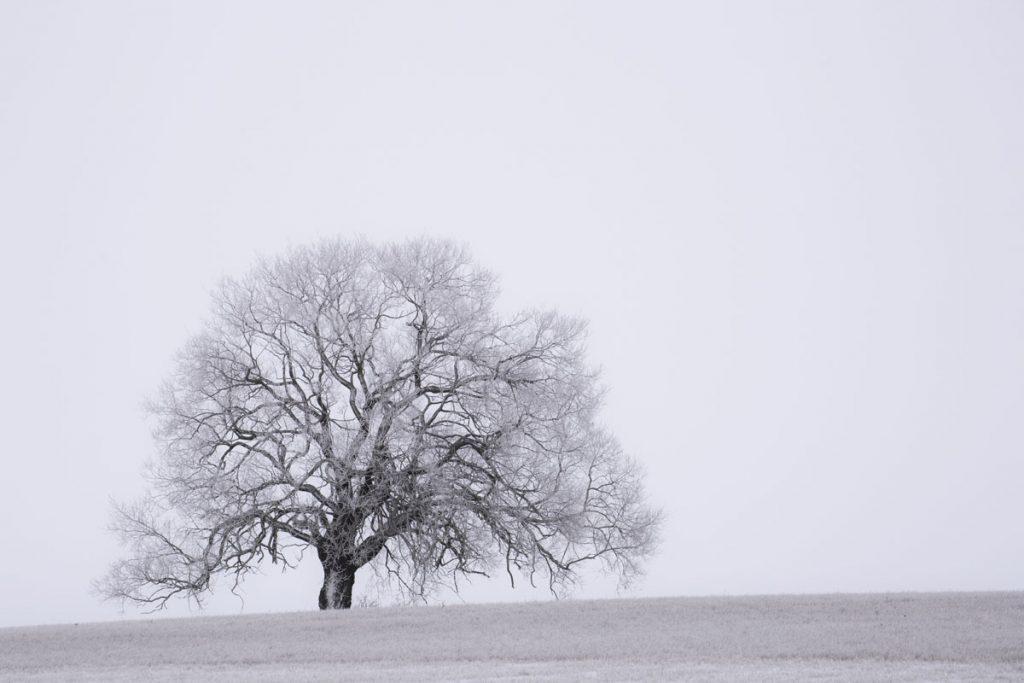 Ett ensamt träd en dimmig morgon i januari