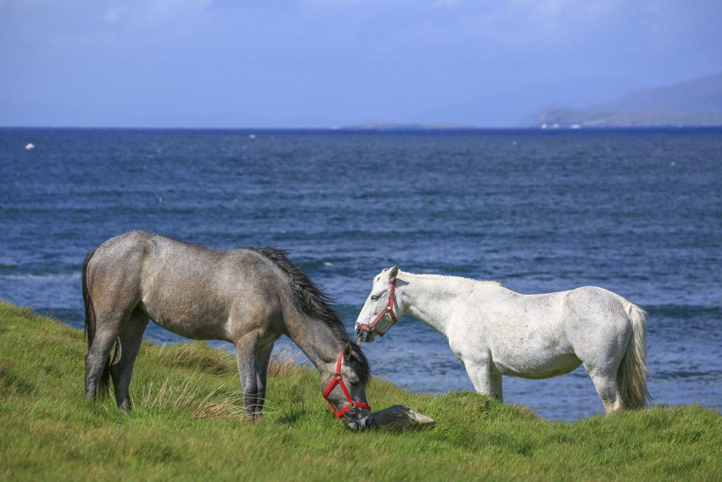 Det finns gott om mat för Connemarahästarna. Vacker utsikt har de också