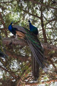 Påfåglarna vid borgen Castelo de São Jorge verkade vilja gömma sig från turisterna högt uppe i träden