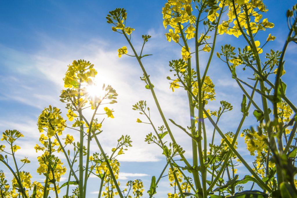 Blå himmel och gula rapsfält. Påminner om vår flagga