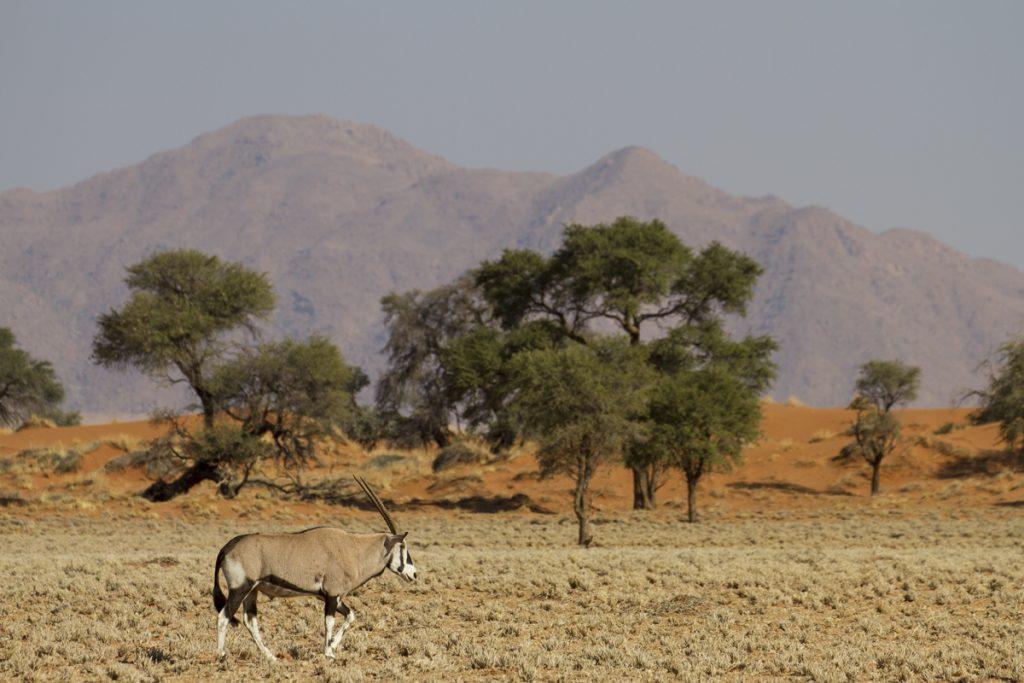 Många oryx ser vi längs vägarna. På ranchen blev vi erbjudna oryxkött, men vi hade matplanerna klara.