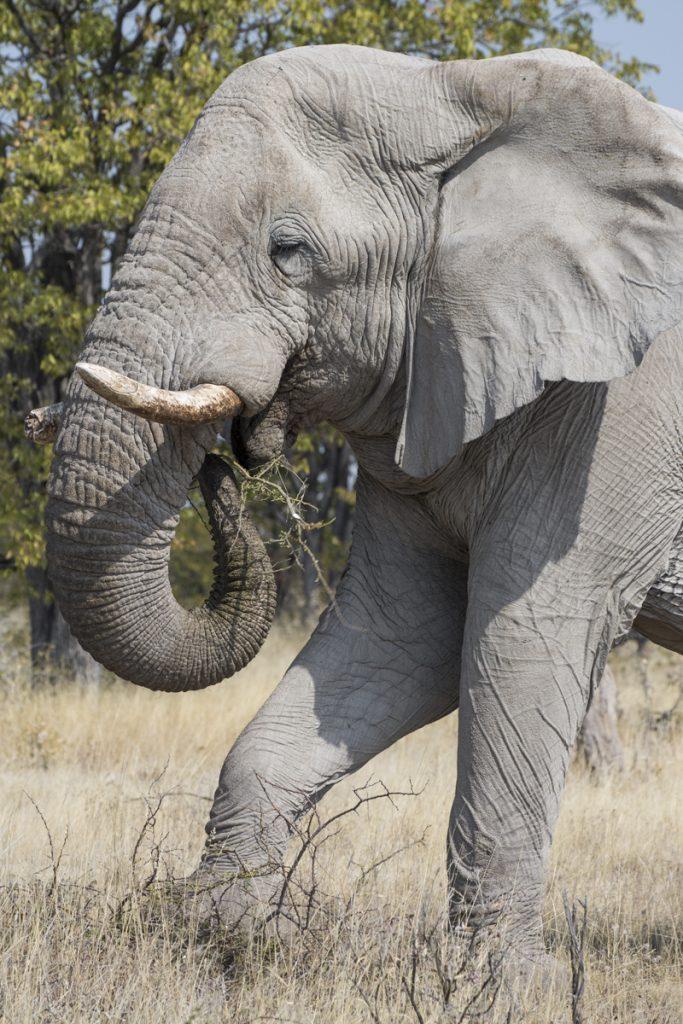 Med hjälp av fötterna och snabeln rycker elefanten upp den taggiga busken