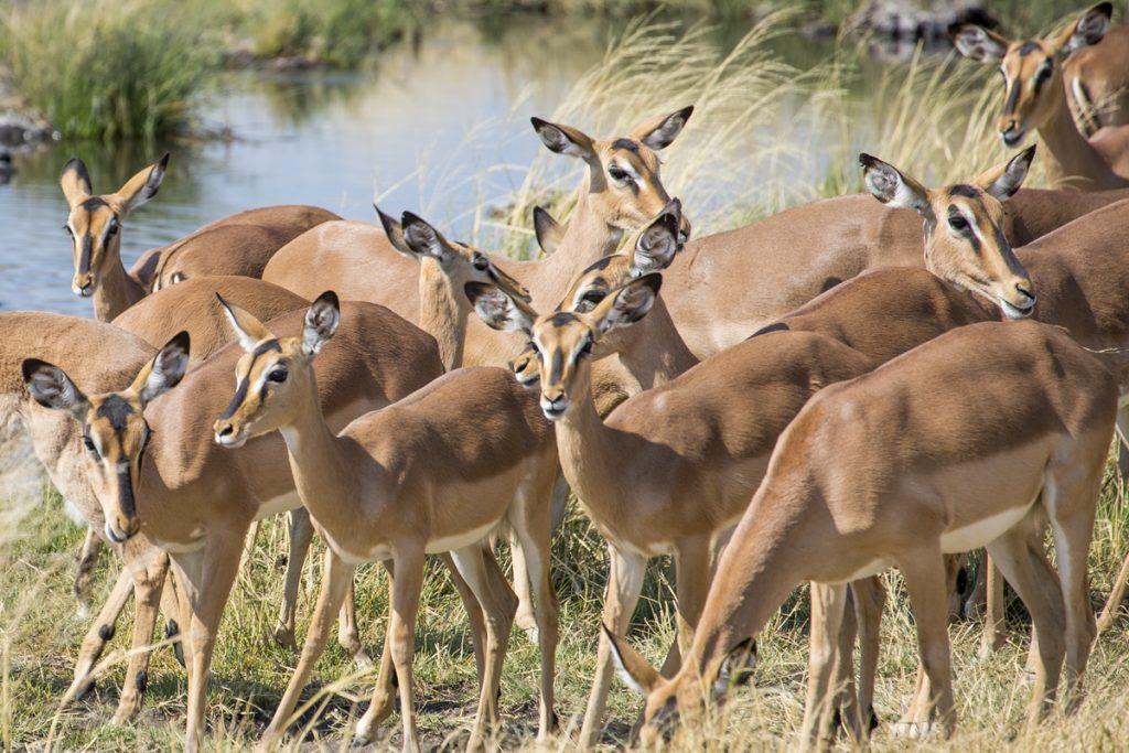 Impalor bildar snyggt mönster där de står i en flock vid ett vattenhål. Strax därefter börjar showen.