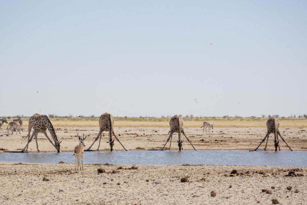 Namibia etosha Blogg giraff