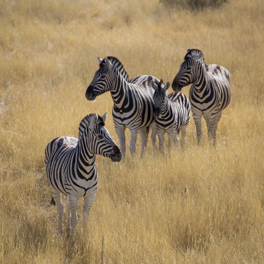 De här zebrorna poserar som om de visste att de gör sig bra som tavla