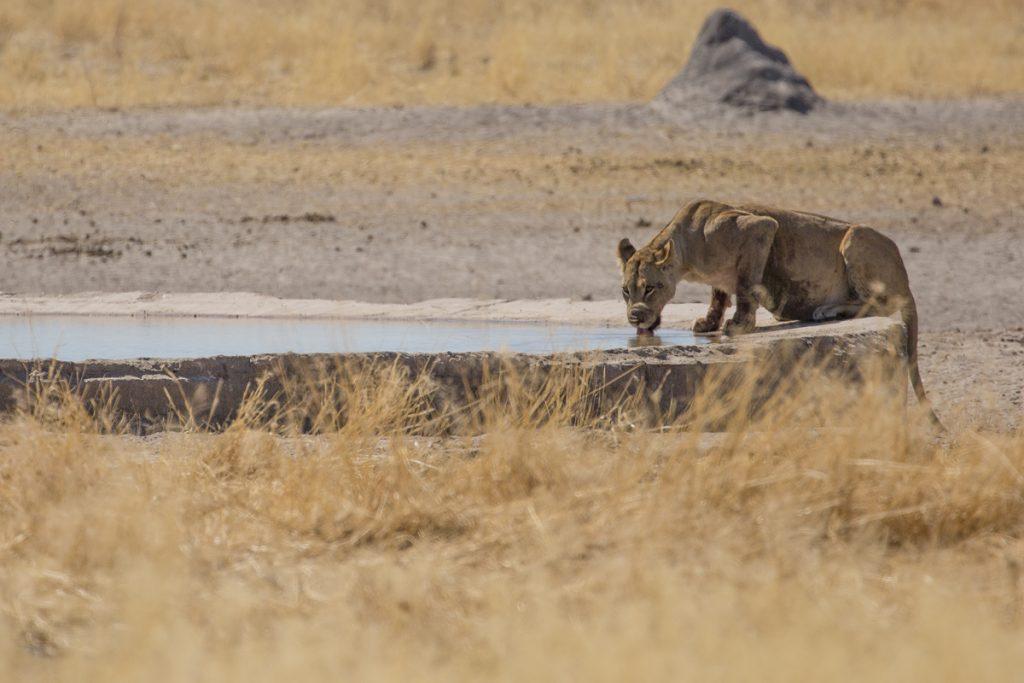 En törstig lejonhona