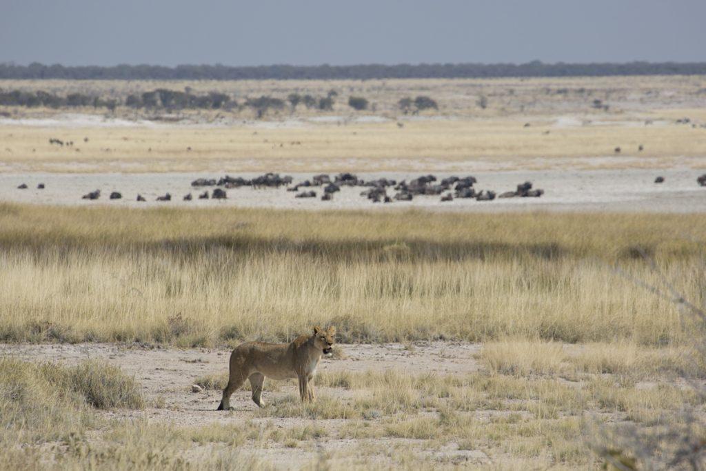 En lejonhona på spaning efter byte. I parken finns 200-300 lejon