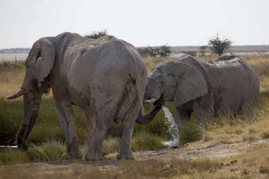Några elefanter släcker törsten i ett av nästan 60 vattenhål i Etosha
