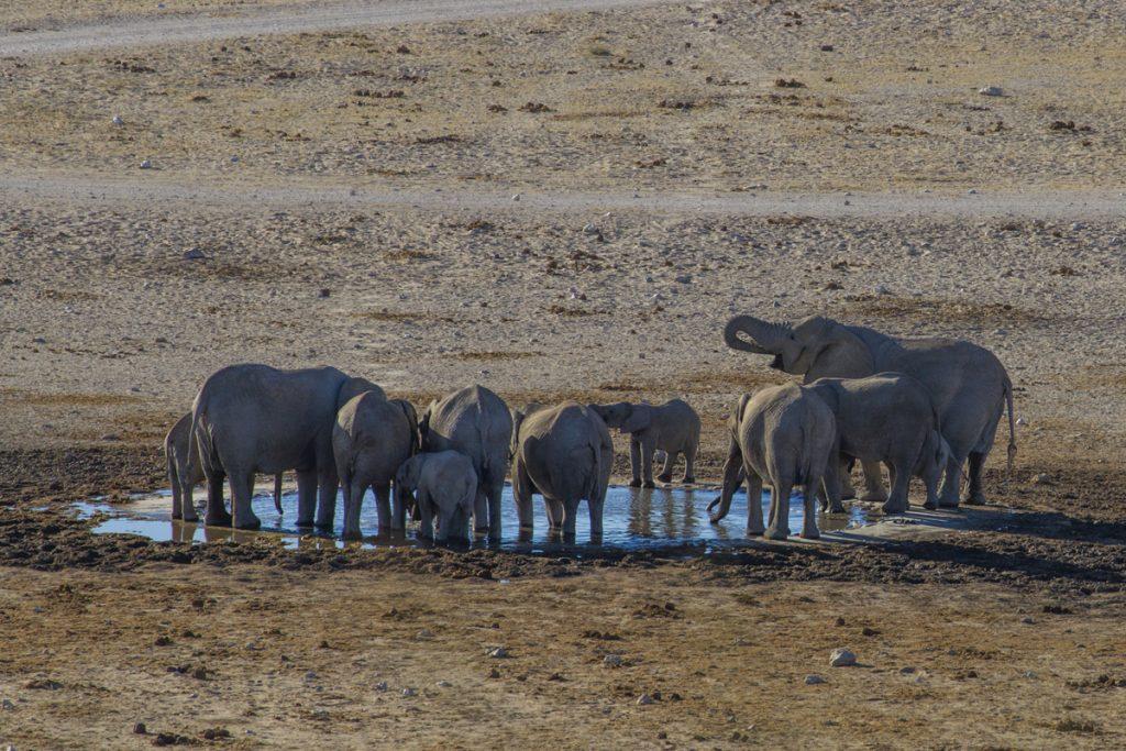 11 elefanter i vattenhållet vid Dolomite Camp