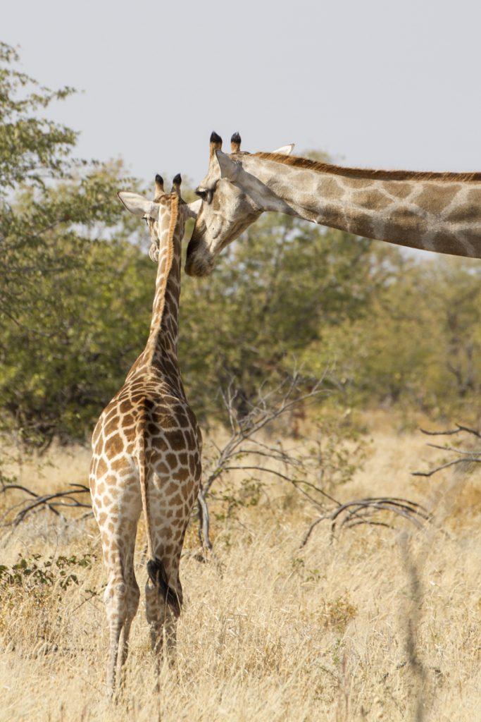 """""""Vad lång du har blivit min son"""" säger giraffmamman till sitt giraffbarn"""