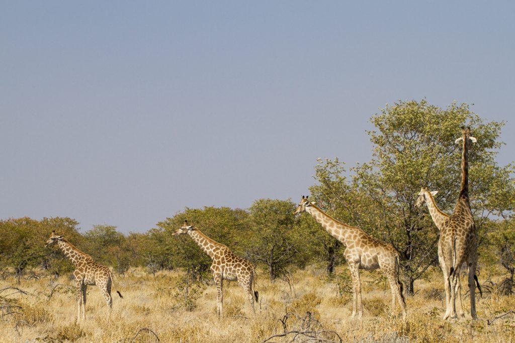 Tripp, trapp, trull i giraffernas värld