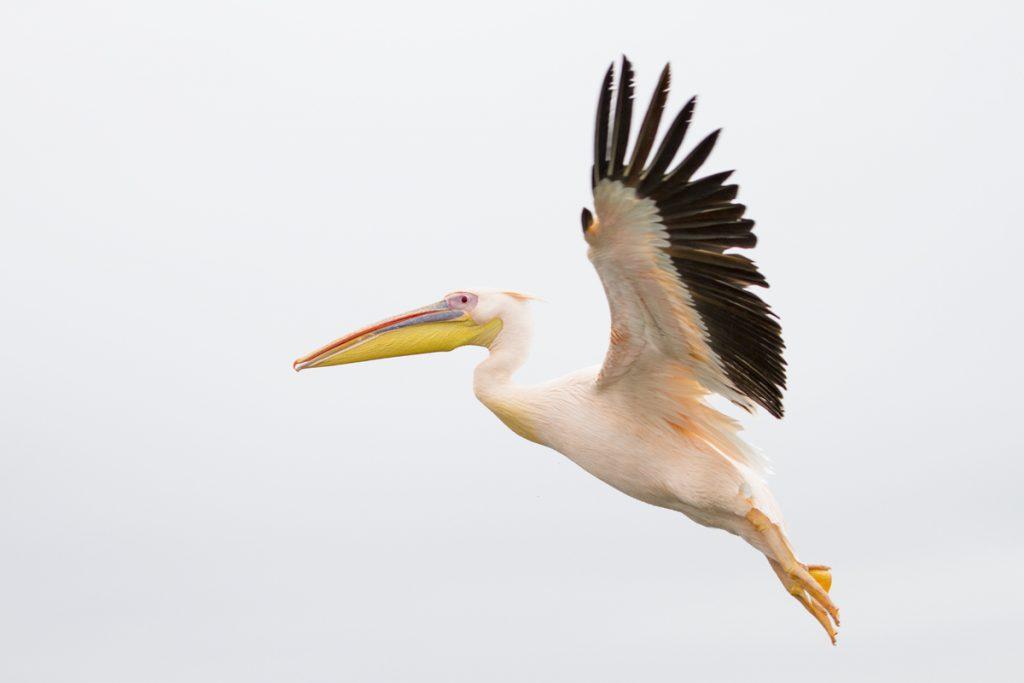 Här vankas det mat, tänkte pelikanen och kom flygandes.