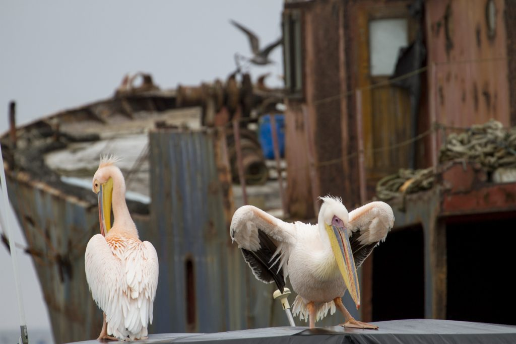 Pelikaner på en annan båt, med skeppsvrak i bakgrunden