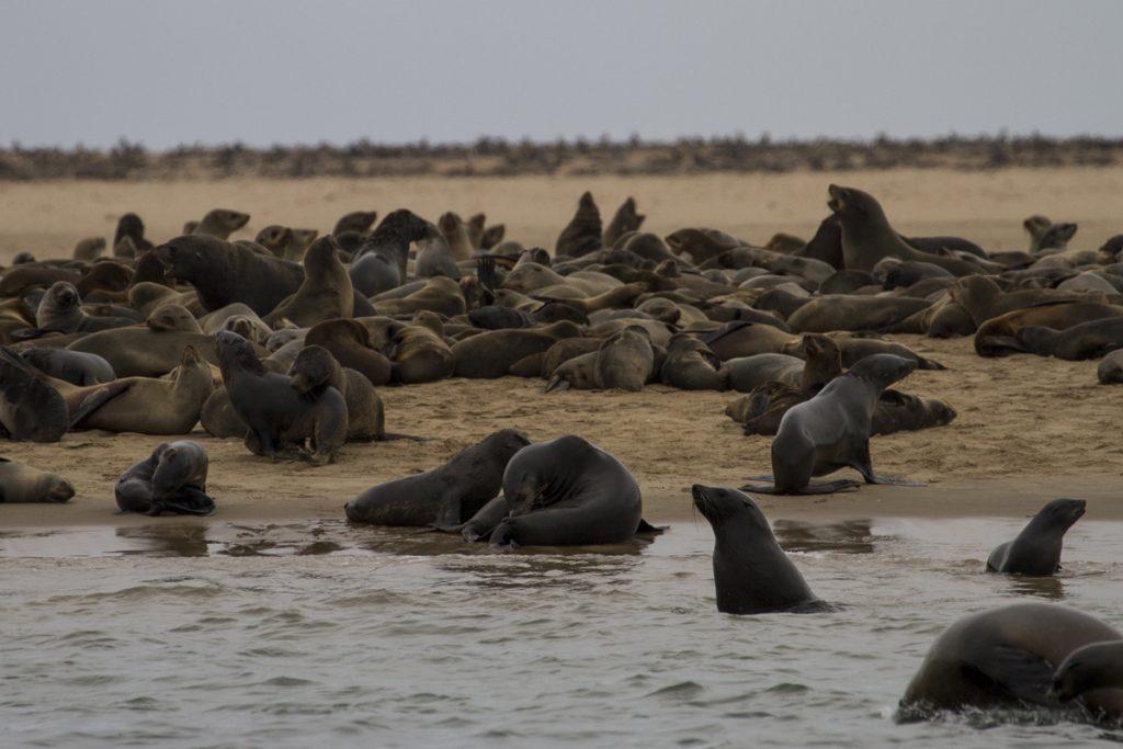 100 000-tals sälar på stränderna utanför Walvis Bay. Länge norröver vid Cape Cross finns världens största öronsälkoloni.