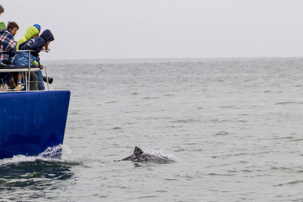 På väg tillbaka till hamnen kommer så till slut några delfiner simmandes runt fören och följer oss en bit.