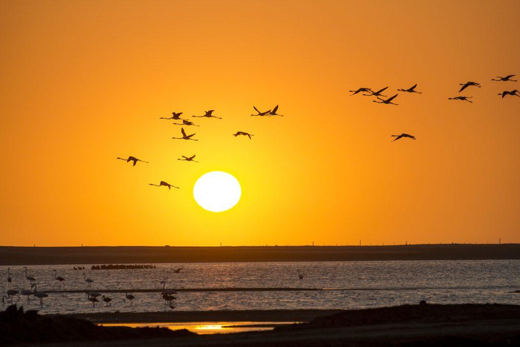 Flamingos i solnedgången