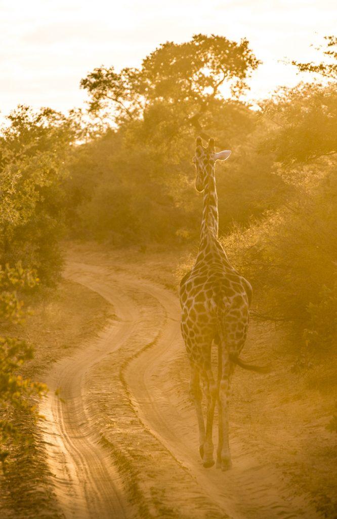 En magisk morgon med giraffer i soluppgång