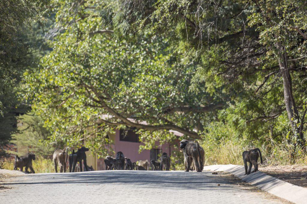 Babianer i stora flockar rör sig i området. De gör allt för att komma över nåt att äta och kan därför bli ganska aggressiva.