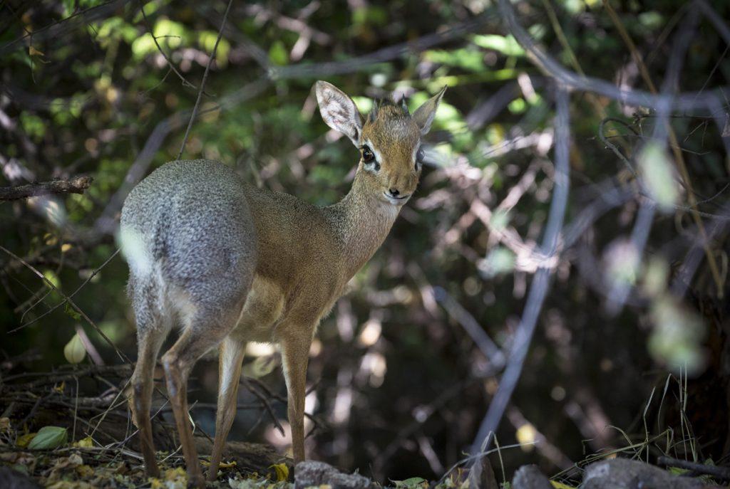 Damara dik-dik, Namibias minsta antilop med en mankhöjd på bara 40 cm. Förmodligen den sötaste också.