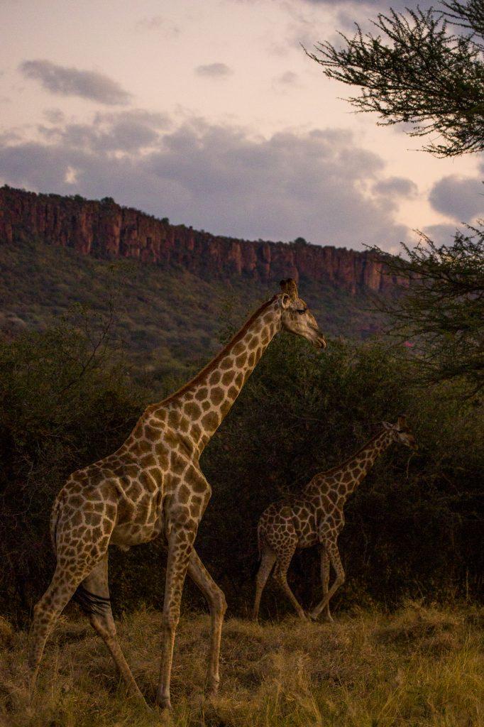 Giraffer i morgonljuset med Waterberg plateau i bakgrunden