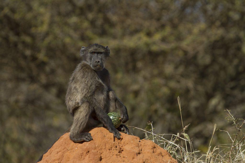 Vid vägen satt denna filur på ett termitbo och pillade på ett frukt
