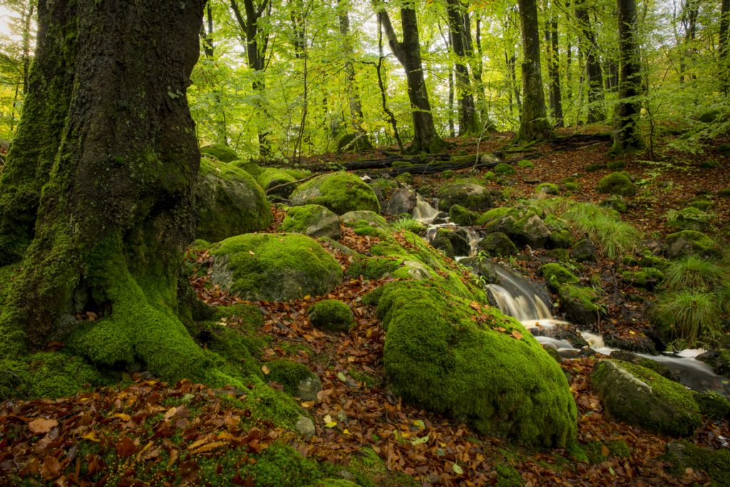 Mossbeklädda stenar och rötter med små bäckar som porlar friskt i den sagolikt vackra bokskogen