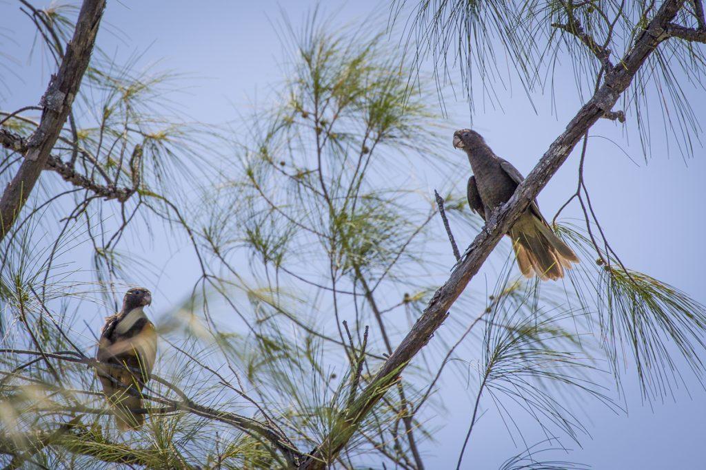 Vi hade turen att få skåda ett par svarta papegojor, en endemisk art