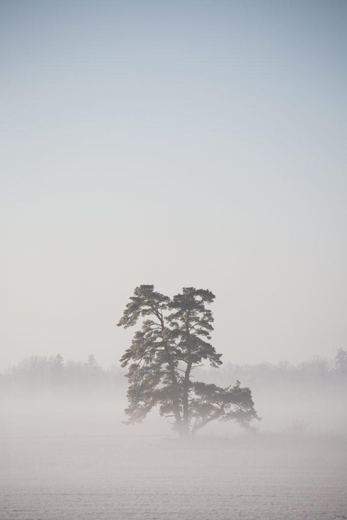 Ensam tall i dimman på slätten