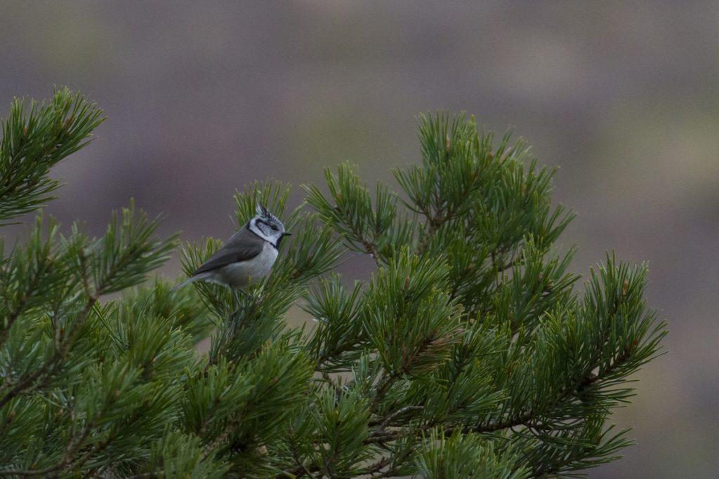 En tofsmes var den enda fågel vi såg från örngömslet i skymningen. Den ser inte ut som en rovfågel...