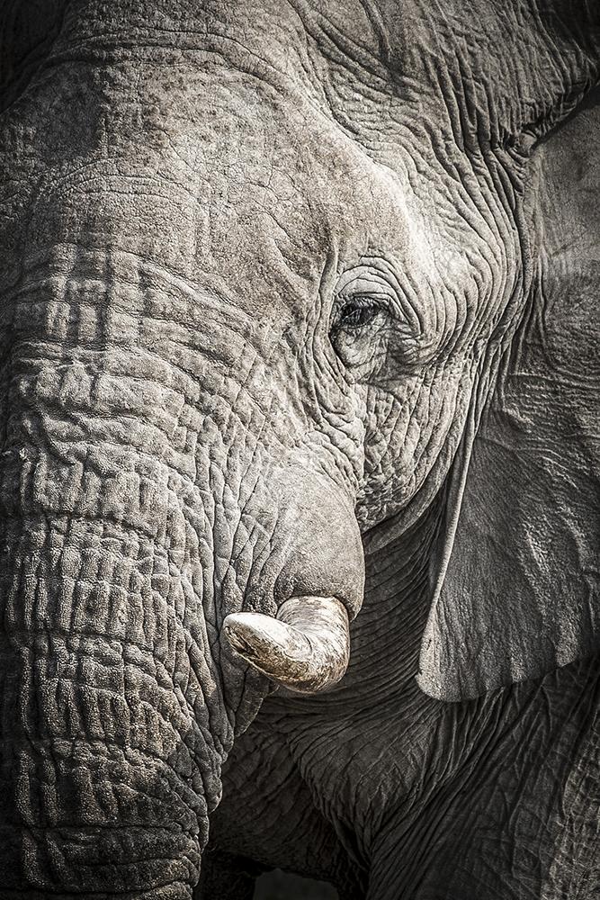 Elefant eye