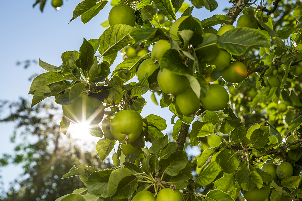 Äpple i solljus