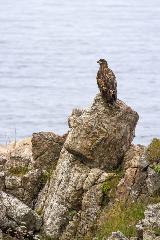 Vi kommer inte så långt på vår vandring förrän vi skådar dagens första havsörn, som majestätiskt sitter på en klippa och spanar efter käk