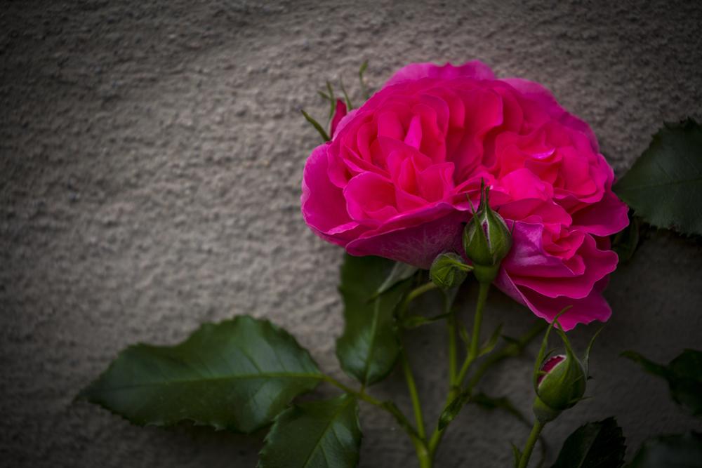 Mera rosor...