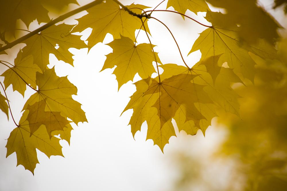 Lönnlöven lyser upp det grå i oktober