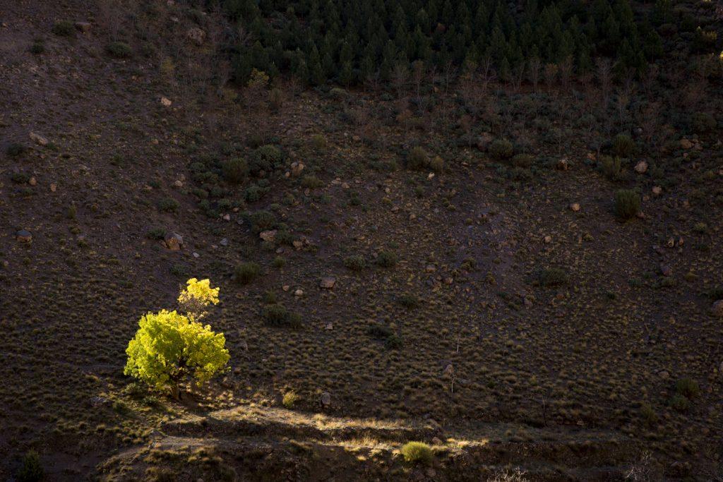 Ett ensamt träd lyser höstgult med hjälp av dagens första solstrålar.