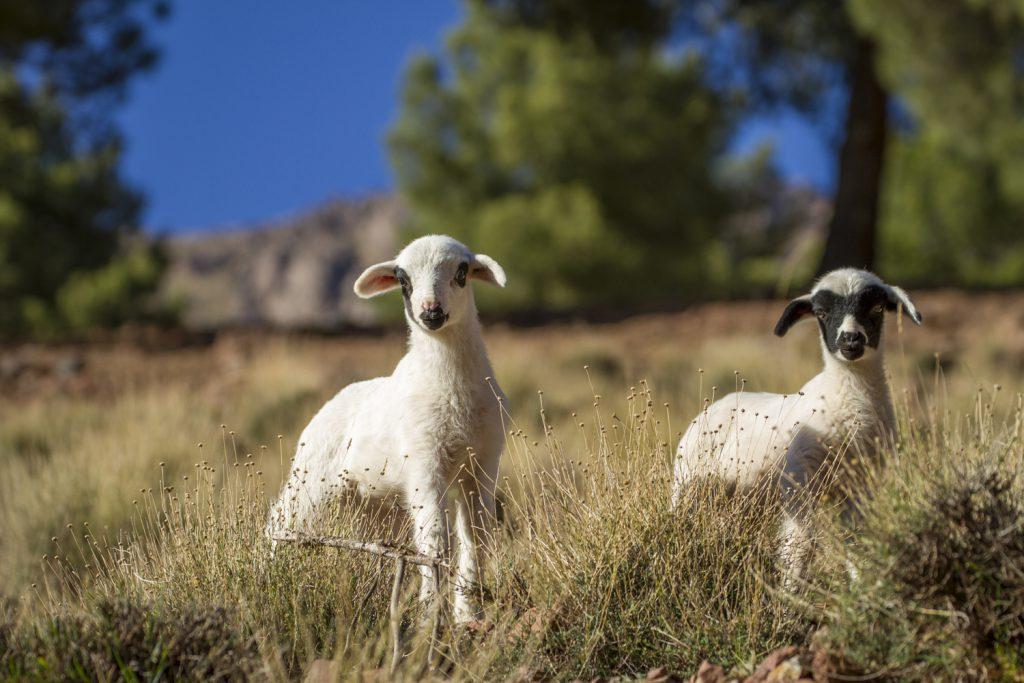 Små söta lamm var hur nyfikna som helst
