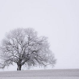 Träd i gryning
