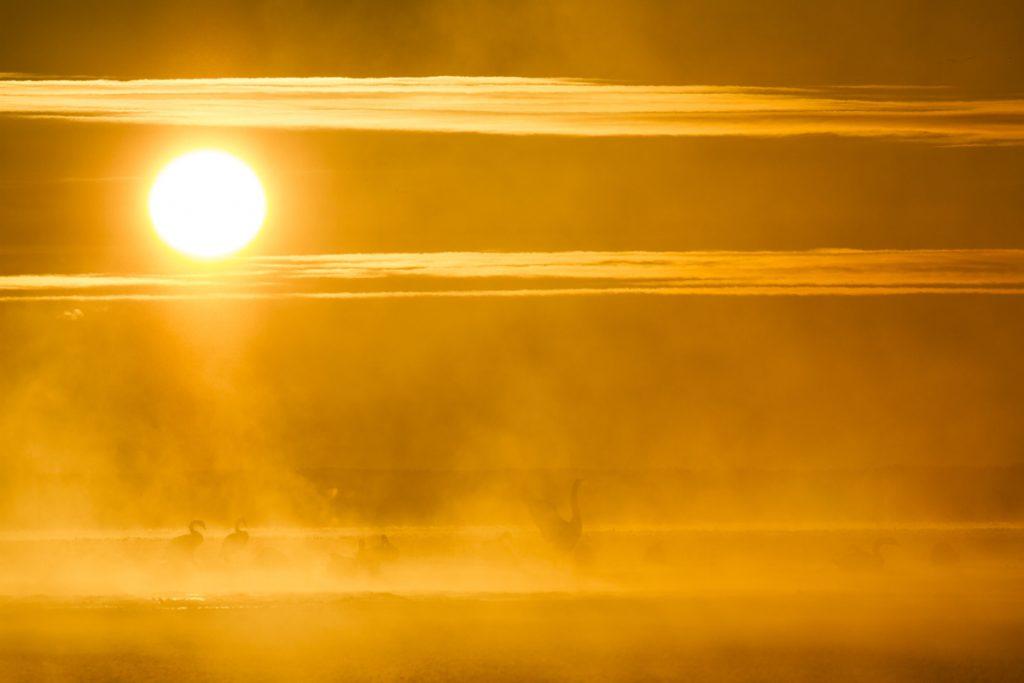 Svanar i morgonljuset