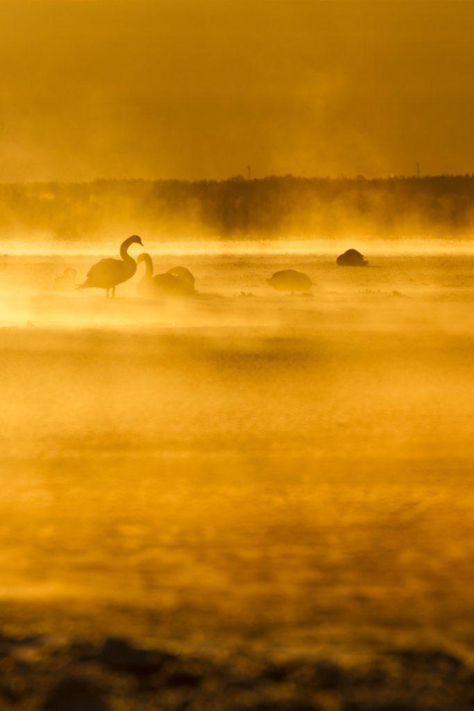 Solens strålar målar landskapet vackert gult, med svanarna som siluetter
