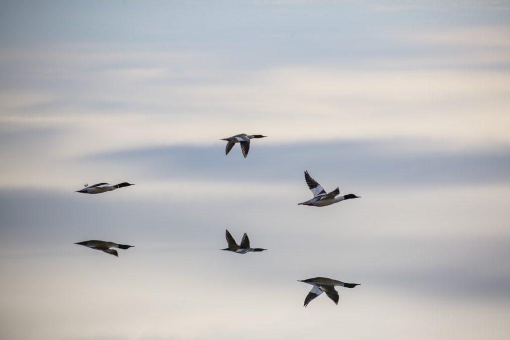 Hur många fåglar är det? Varför flyger hälften uppochner?