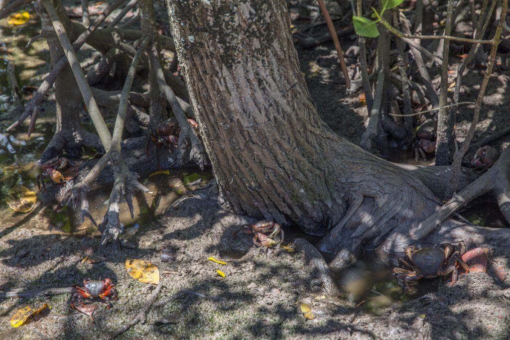 Många krabbor såg vi på vandringen genom ön Curieuse, Hur många krabbor ser du på bilden?