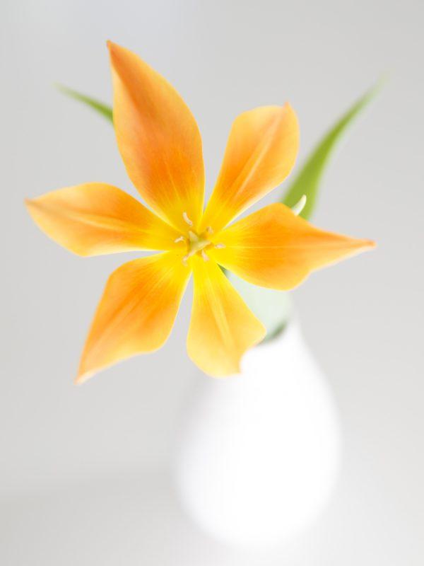 På eftermiddagen hade tulpanerna slagit ut och bilder denna fantastiska stjärna