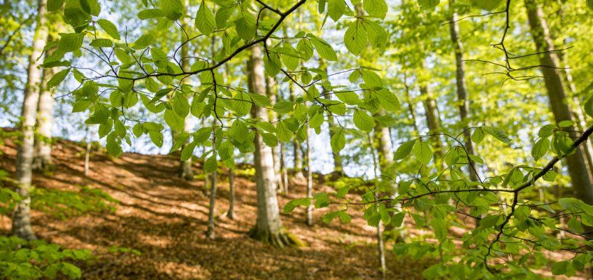 Bokskog på Omberg
