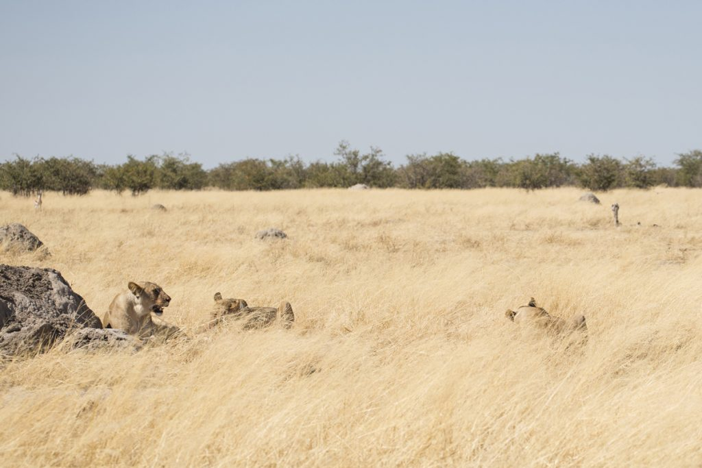 Välkamouflerade lejonhonor 15 meter från bilen - en av många fantastiska upplevelser på vår resa.