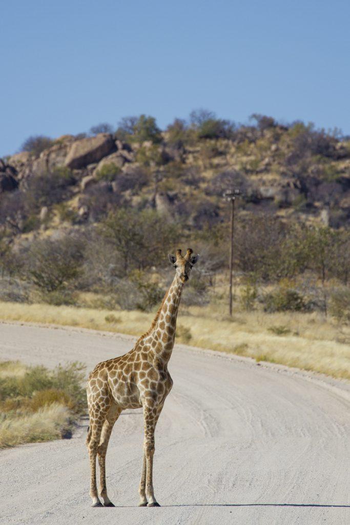 Andra gången jag ser giraffer går jag ur bilen och fotograferar på närmare håll.