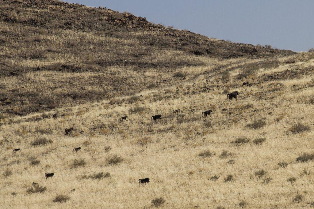 """Vid ett """"tekniskt stopp"""" vid vägkanten tittar jag upp mot sluttningen och ser en flock med babianer"""